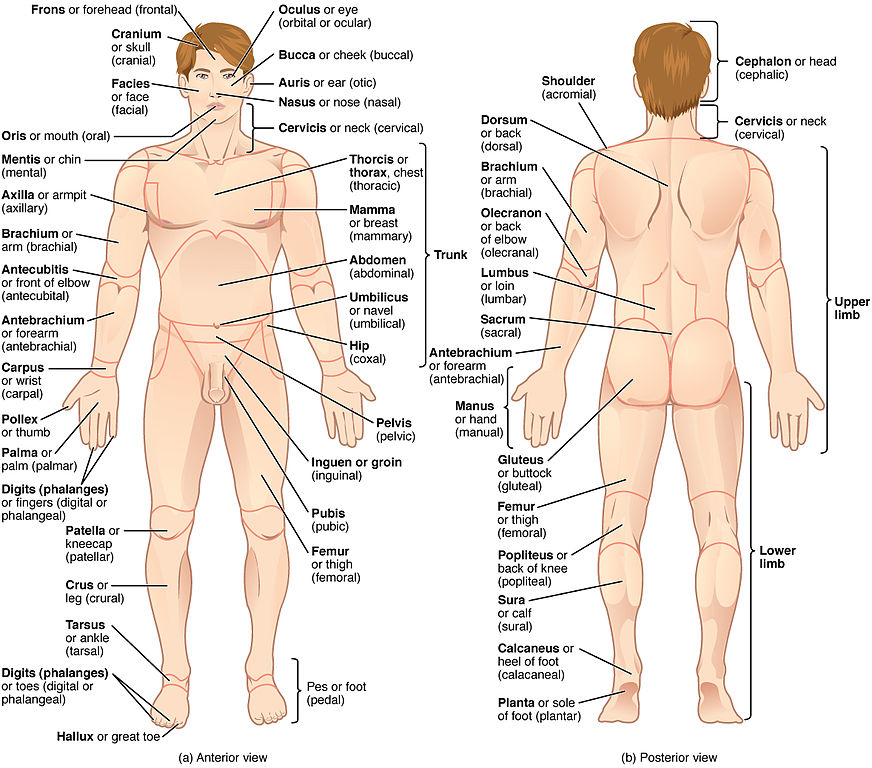 Anatomical regions