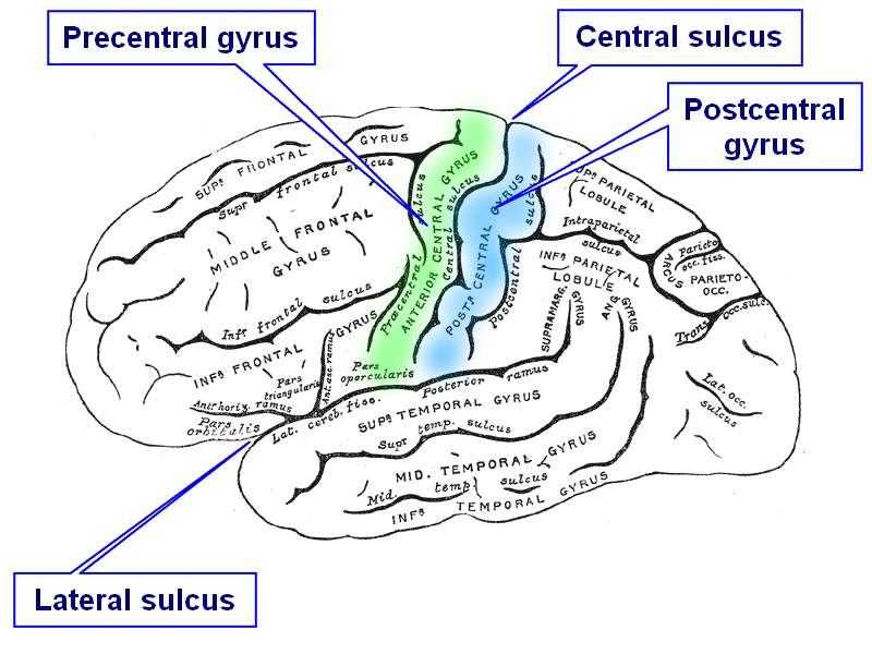 sulcus gyrus and brain lateral view wwwbartlebycom