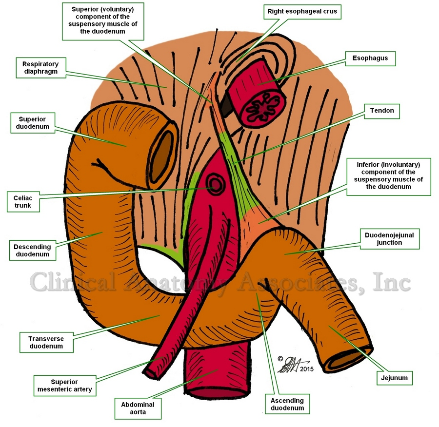 Anterior view of the duodenum and the suspensory muscle of the duodenum