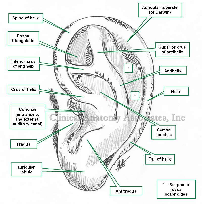Pinna Anatomy Of External Ear Gallery - human body anatomy