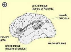 Broca and Wernicke's areas in the dominant brain hemisphere