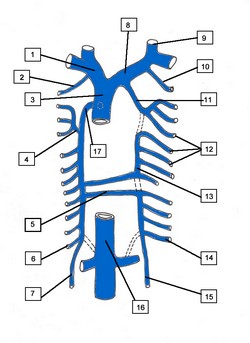 1. Right brachiocephalic vein 2. Right supreme intercostal vein 3. Superior vena cava 4. Right superior intercostal vein 5. Hemiazygos vein 6. Right subcostal vein 7. Right ascending lumbar vein 8. Left brachiocephalic vein 9. Left internal jugular vein 10. Left supreme intercostal vein 11. Left superior intercostal vein 12. Left posterior intercostal veins 13. Accessory hemiazygos vein 14. Left subcostal vein 15. Left ascending lumbar vein 16. Inferior vena cava