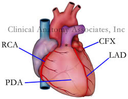 Coronary Arteries. The [*] indicates the left coronary artery