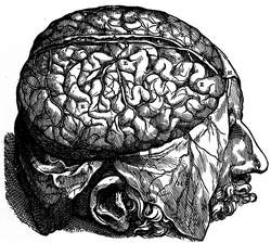 Brain dissection. dura mater open (Vesalius)