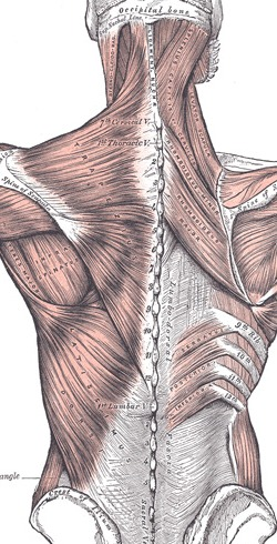Posterior view of the superficial and intermediate muscle layers of the back (bartleby.com)