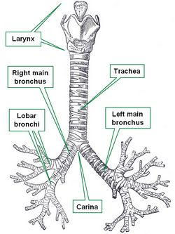 Tracheobronchial tree. Modified from www.bartleby.com